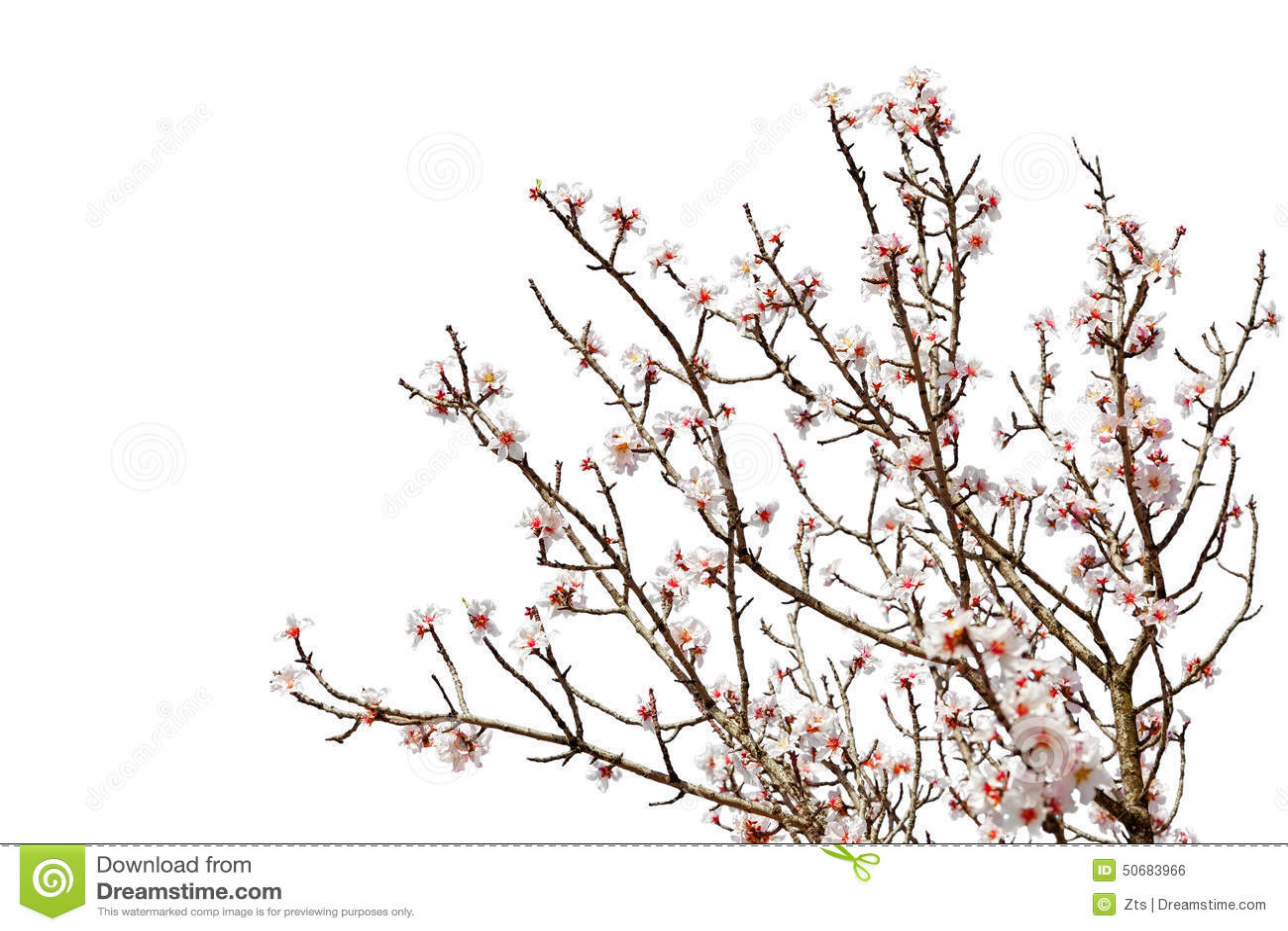 Download 充分樱桃树在白色隔绝的花开花 库存照片. 图片 包括有 粉红色, 查出, 植物群, 魅力, 玻色子, 工厂 - 50683966