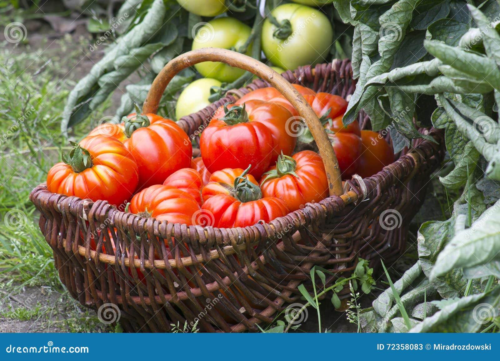 充分篮子新近地被收获的蕃茄