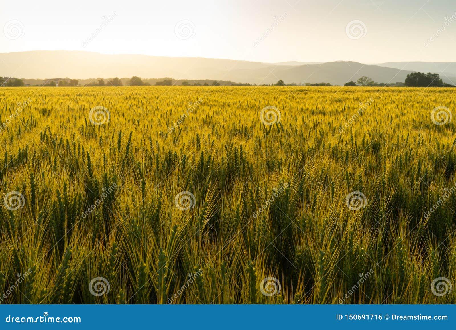 充分绿色领域的在日落期间的麦子