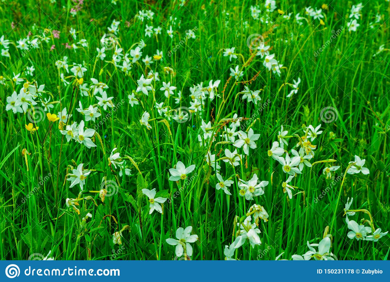 充分美丽的草甸水仙在喀尔巴阡山脉