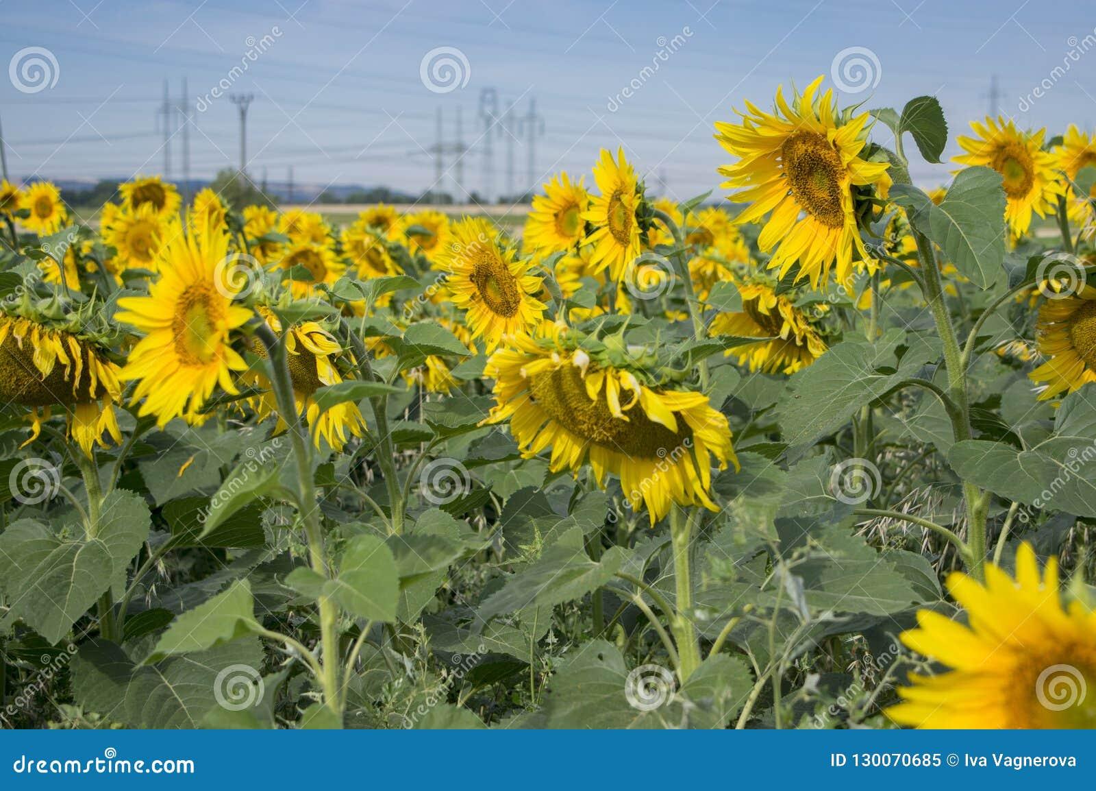 充分领域的在绽放的向日葵花,明亮的黄色开花植物,小组向日葵