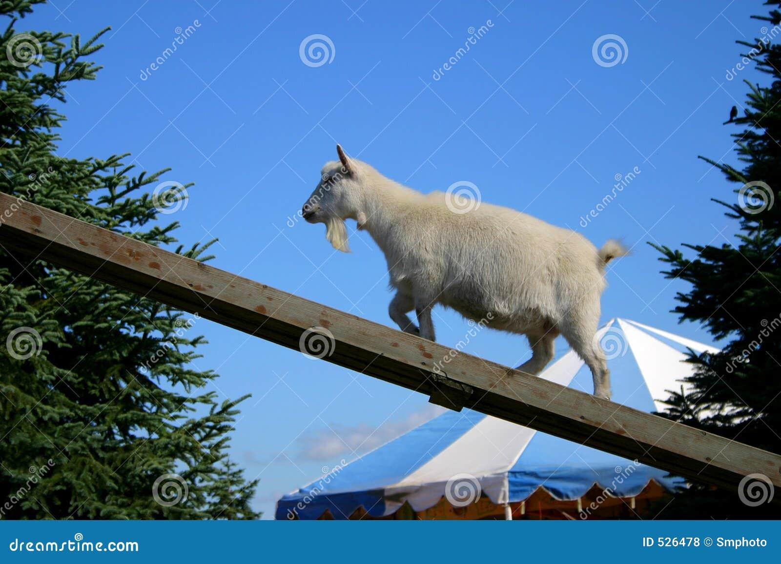 Download 公山羊 库存照片. 图片 包括有 空白, 天空, 顶层, 山羊座, 马戏, 方向, 向上, 蓝色, 宠爱的, 上升 - 526478