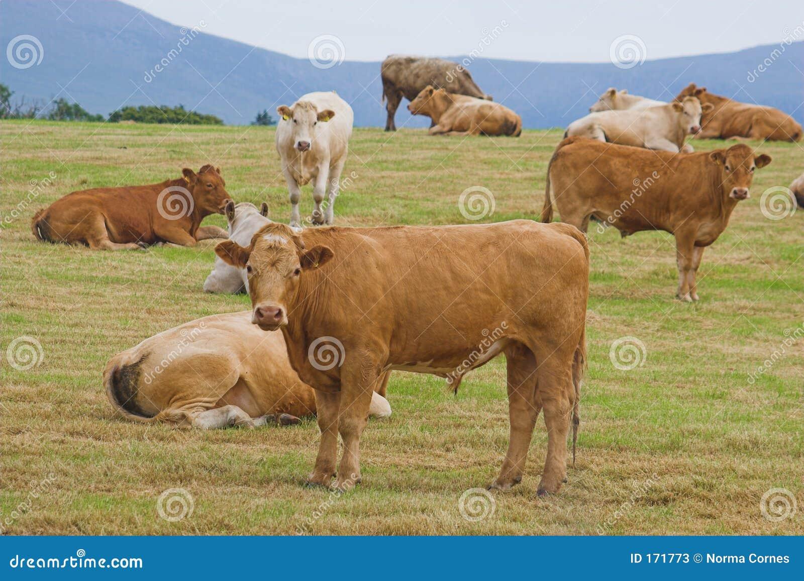 公牛牧群年轻人