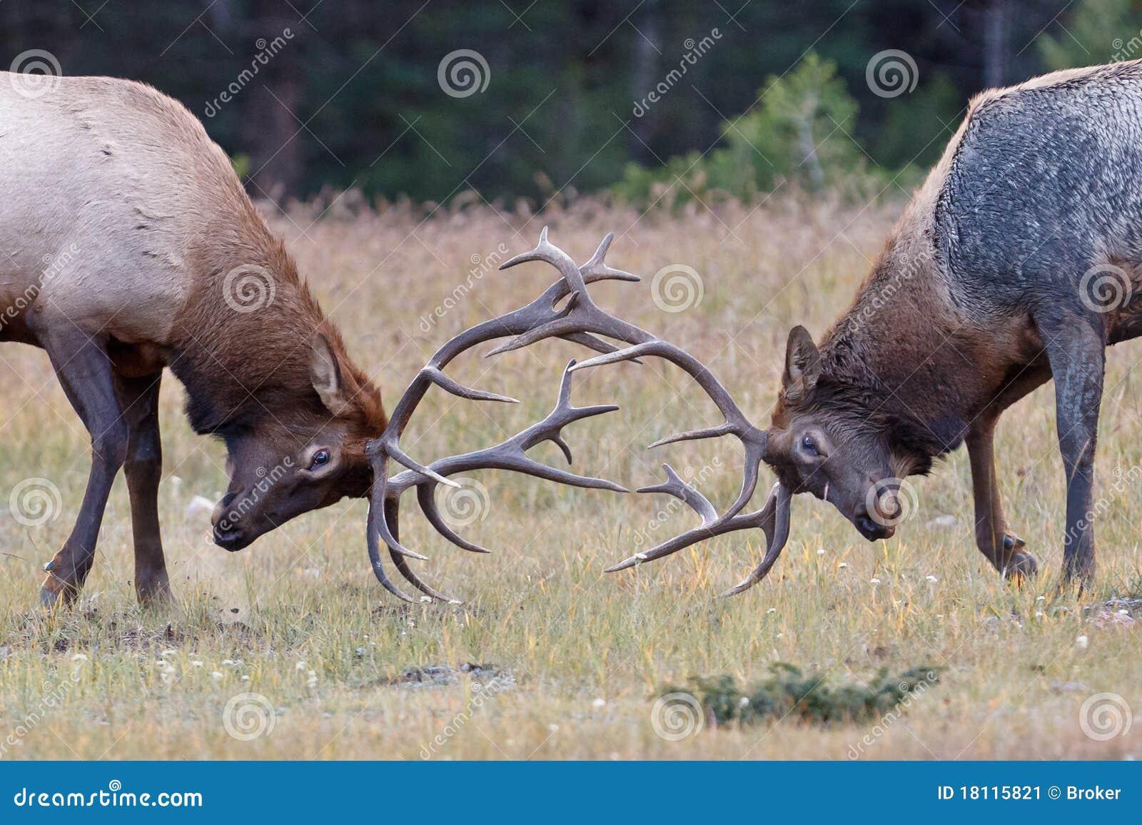 公牛麋战斗