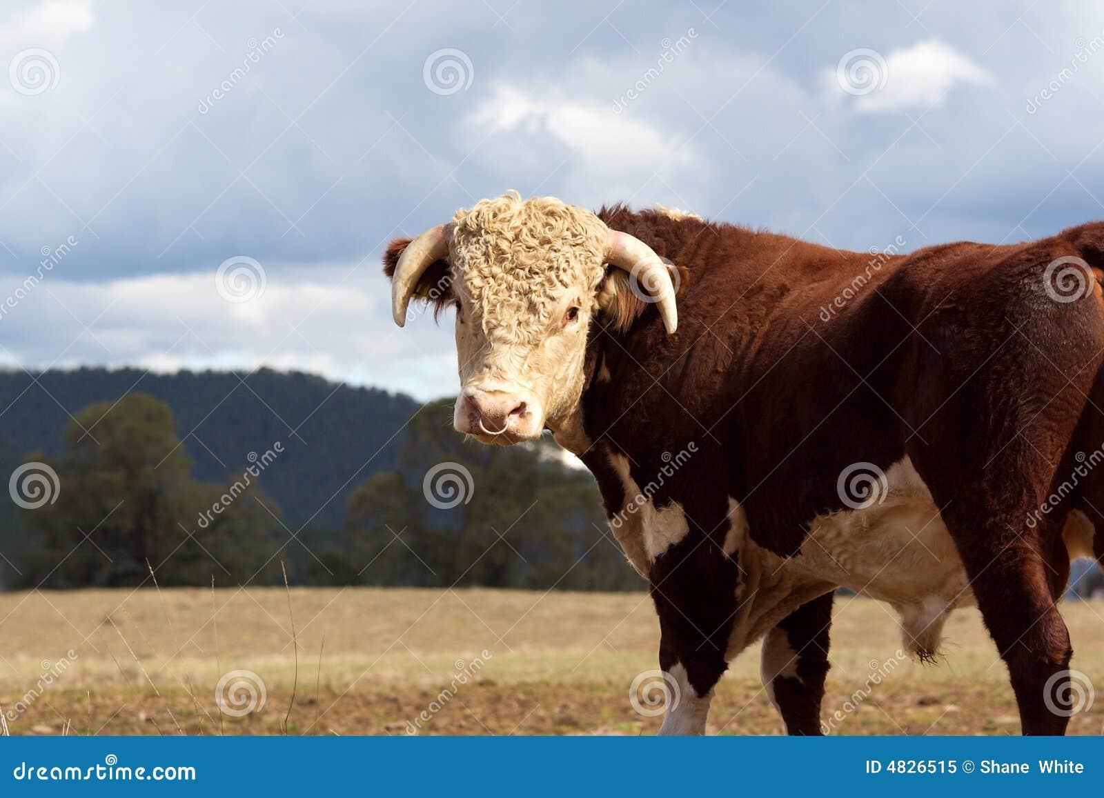 公牛hereford