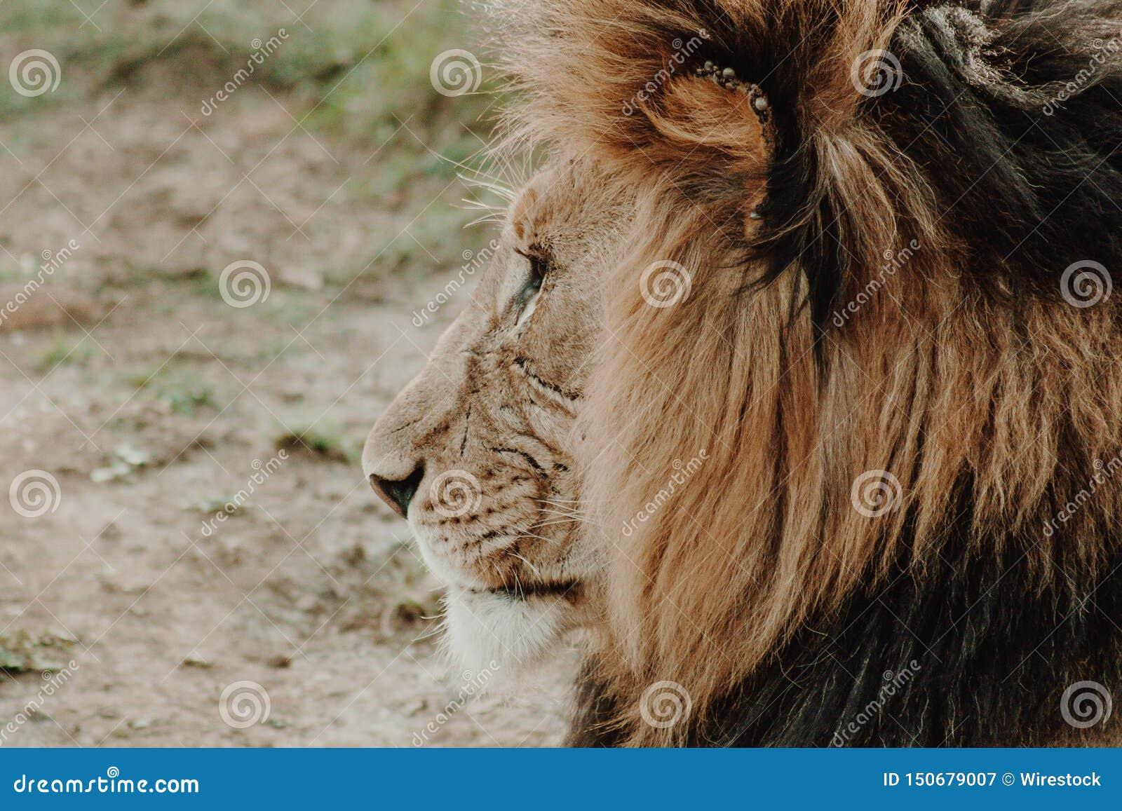 公狮子射击的外形关闭