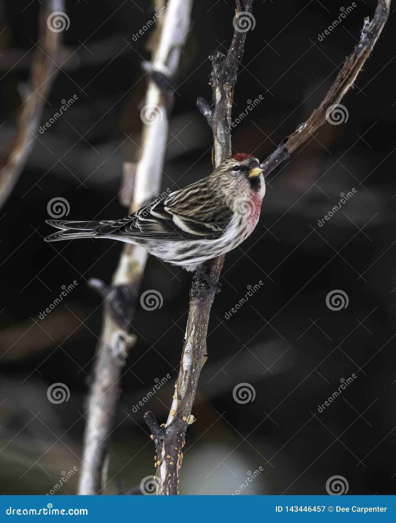 公用公红弱鸟