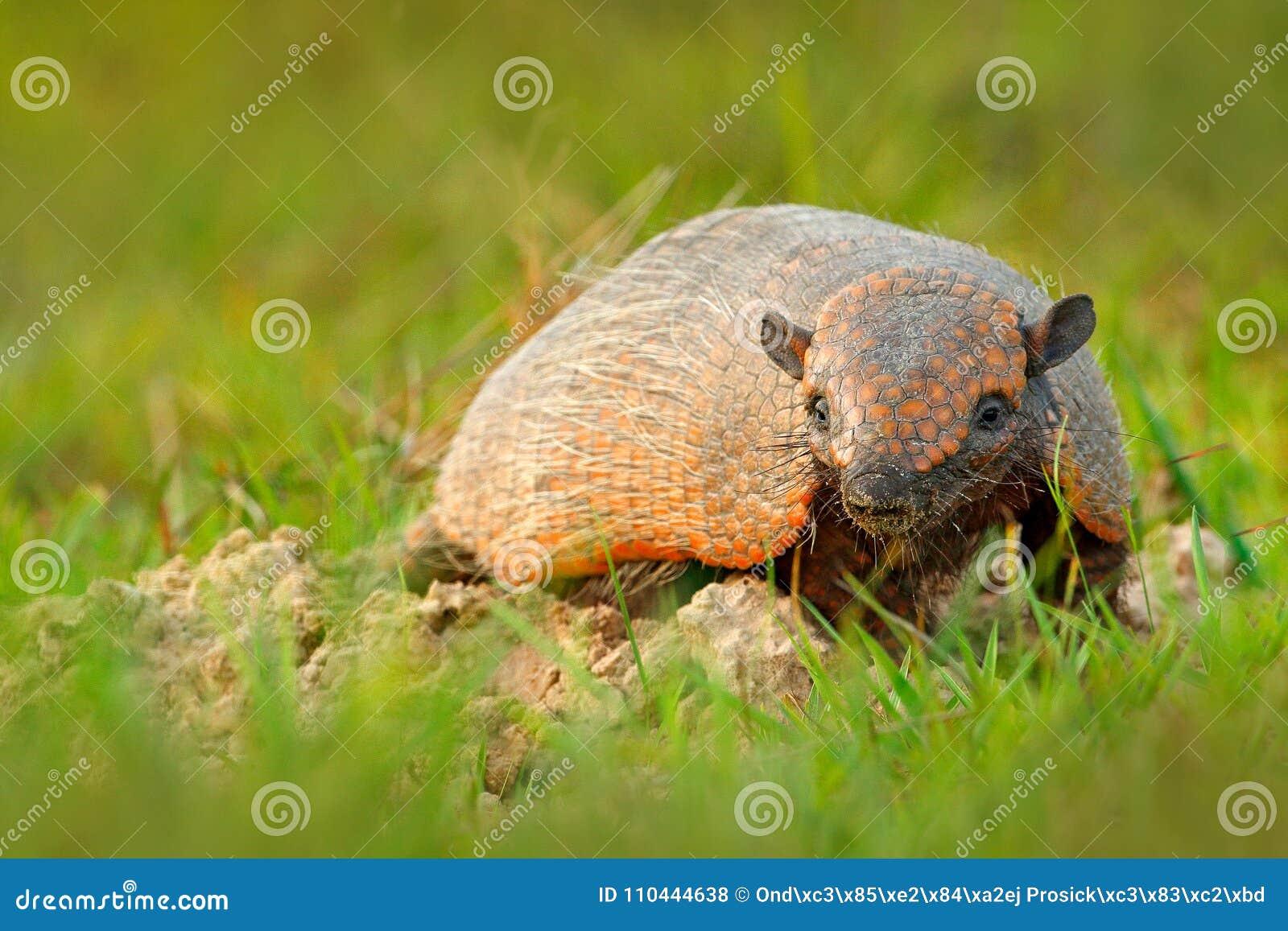 六被结合的犰狳,黄色犰狳, Euphractus sexcinctus,潘塔纳尔湿地,巴西 从自然的野生生物场面 胳膊滑稽的画象