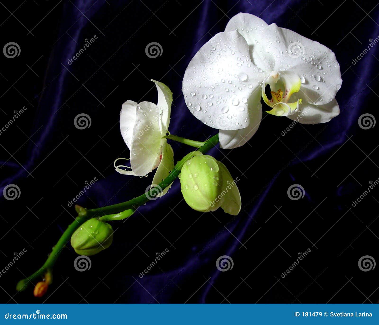 兰花东方样式白色