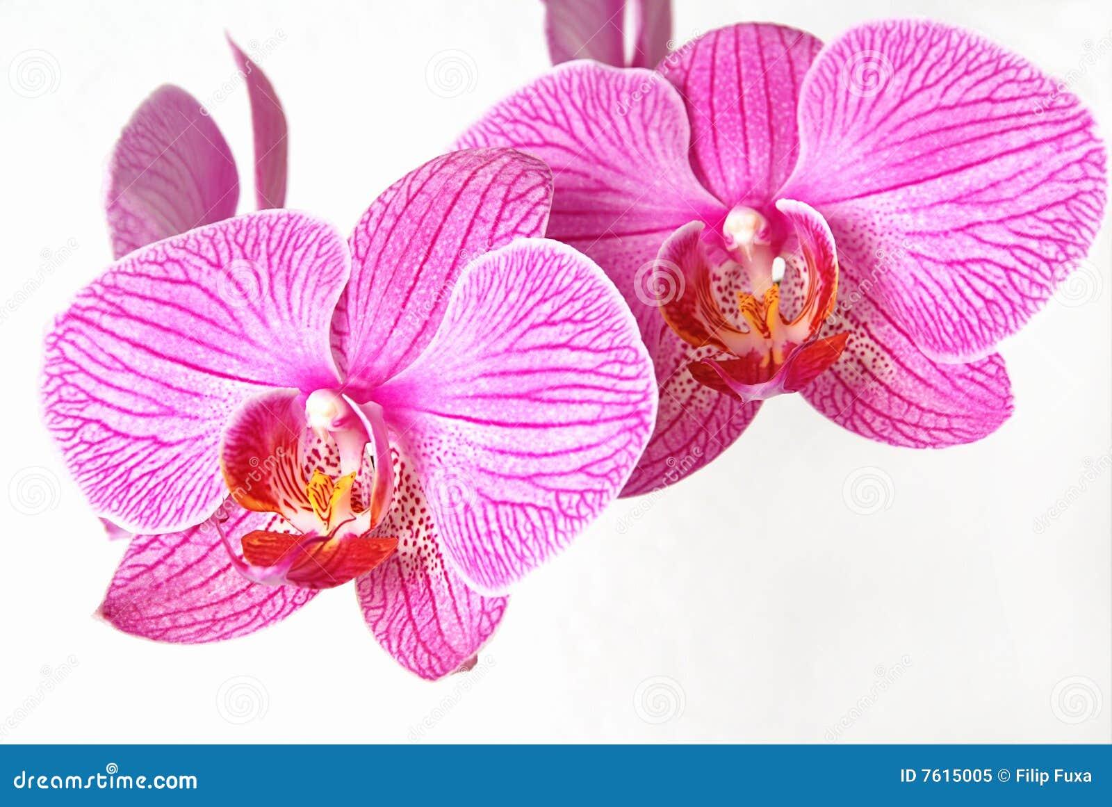 兰花粉红色