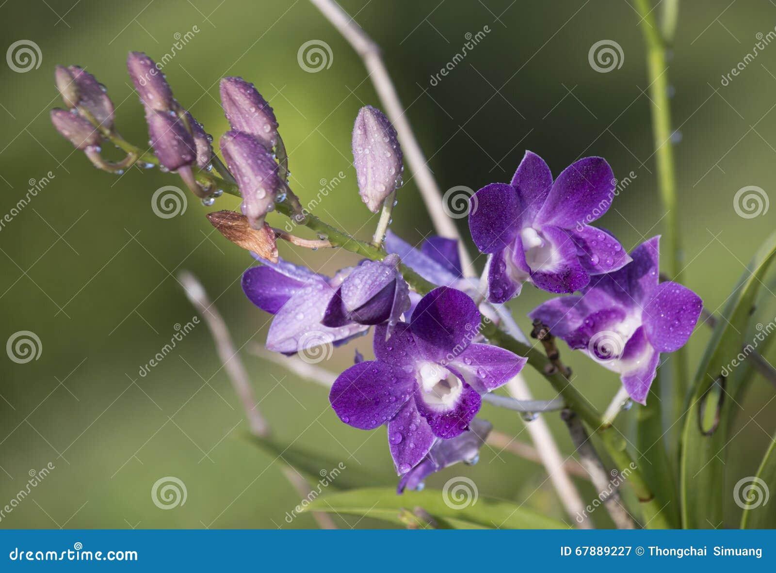 兰花,兰花紫色,兰花紫色被认为女王/王后o