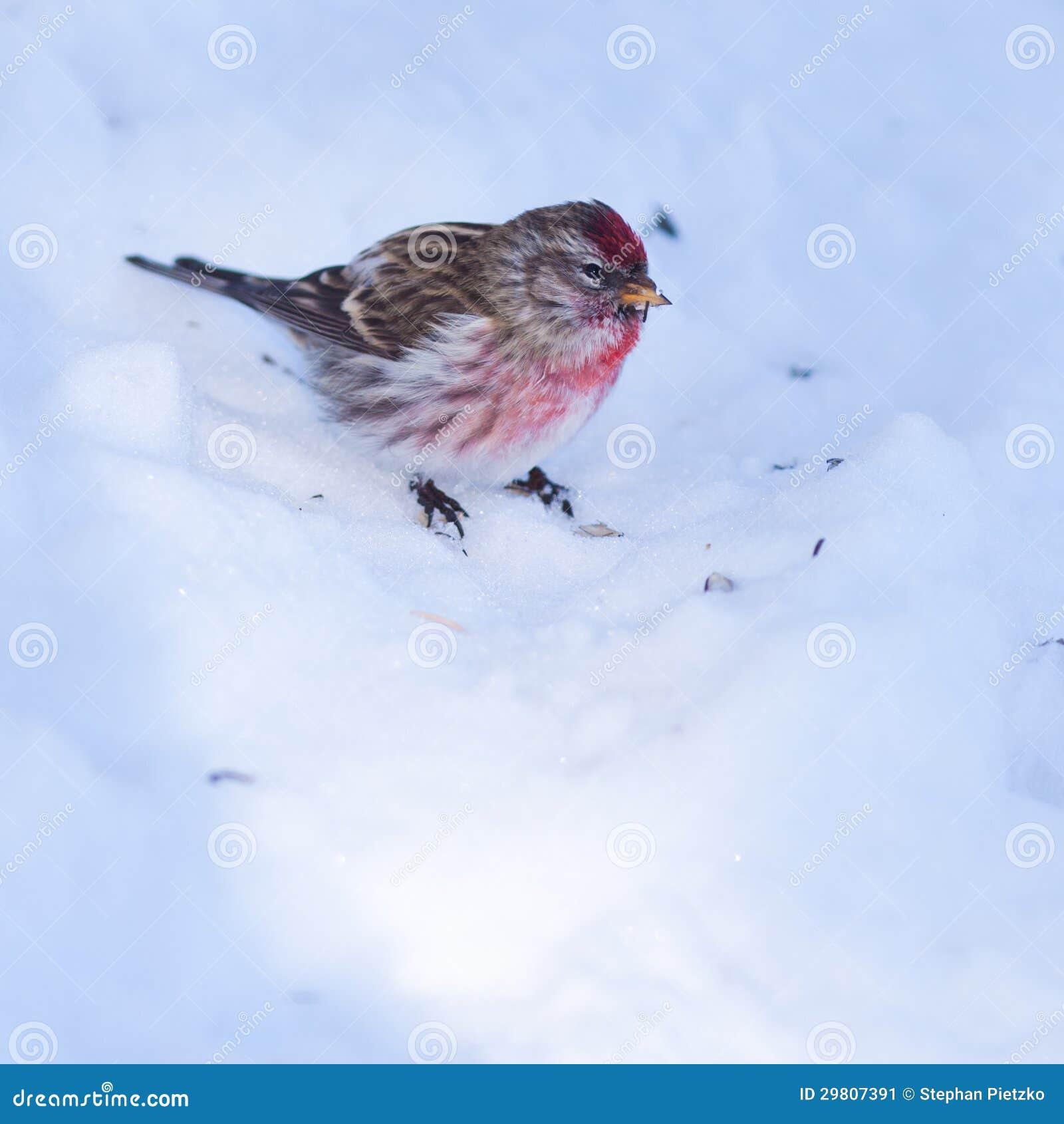 在冬天雪的共同的红弱鸟Carduelis flammea