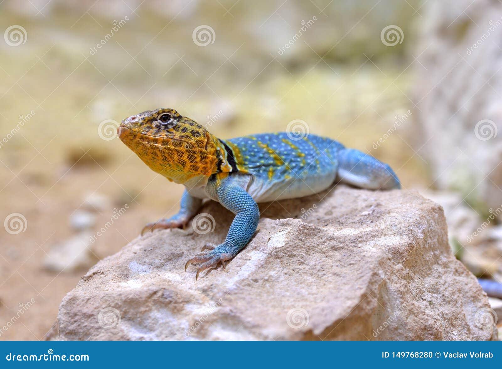 共同的抓住衣领口的蜥蜴Crotaphytus collaris