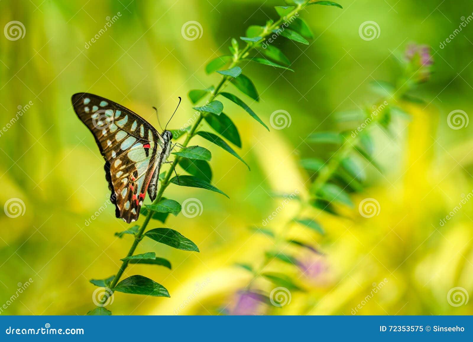 共同的杰伊蝴蝶在庭院里