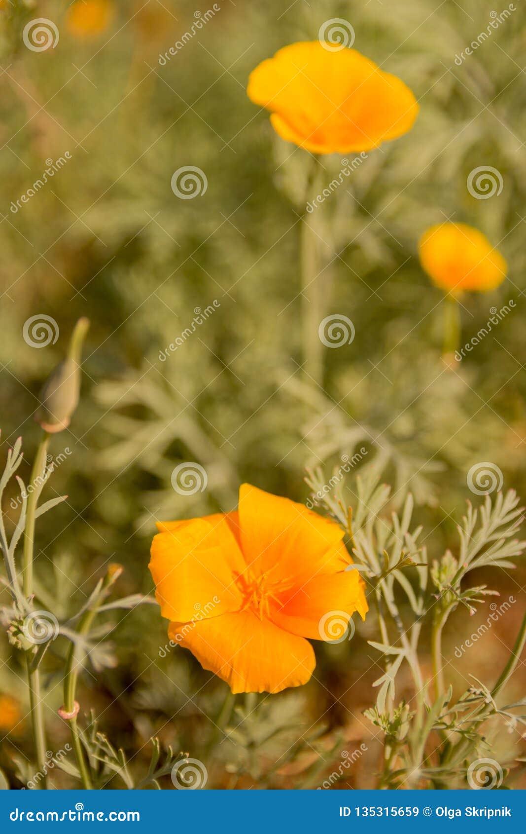 共同的歼击机杀死花五颜六色的花将开花,当暴露在阳光 并且花将回到景气在晚上