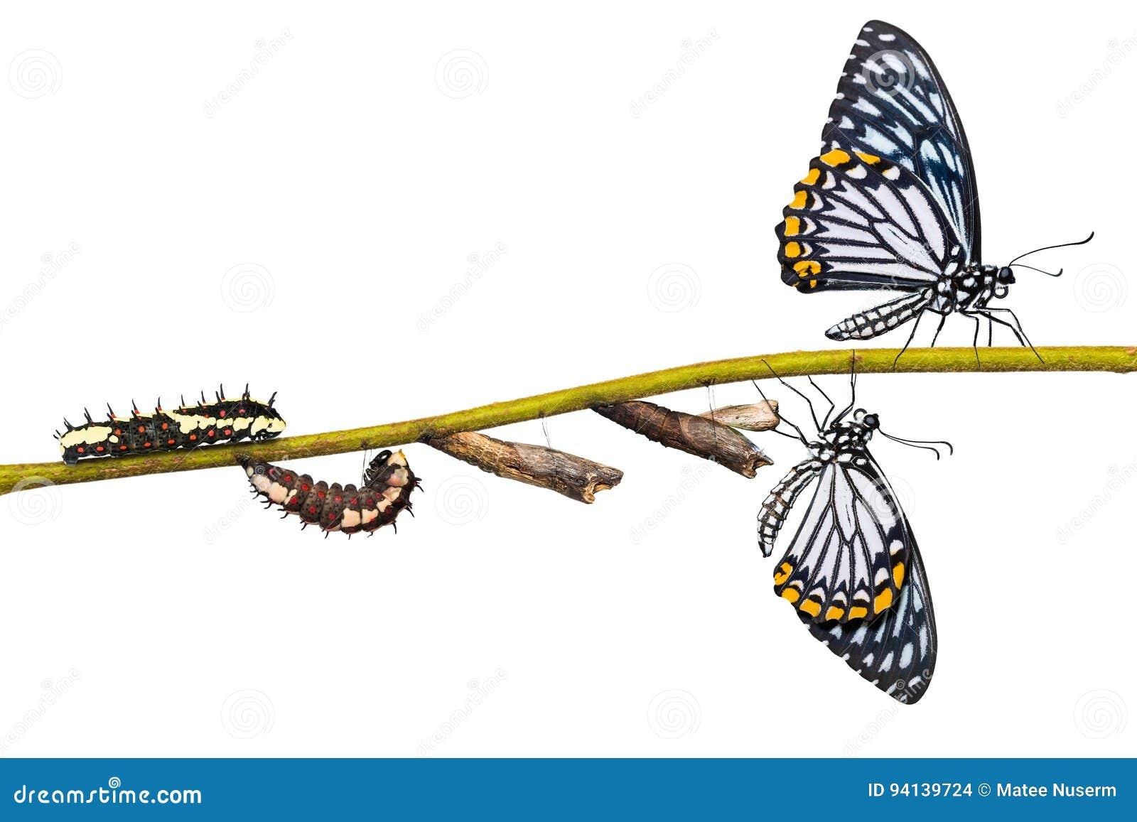 共同的笑剧Papilio clytia蝴蝶生命周期