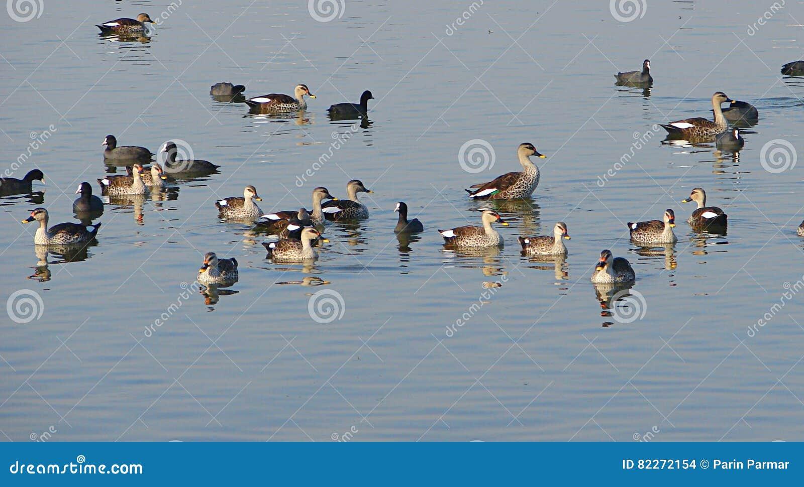 共同的老傻瓜和斑点开帐单的鸭子, Randarda湖,拉杰科特
