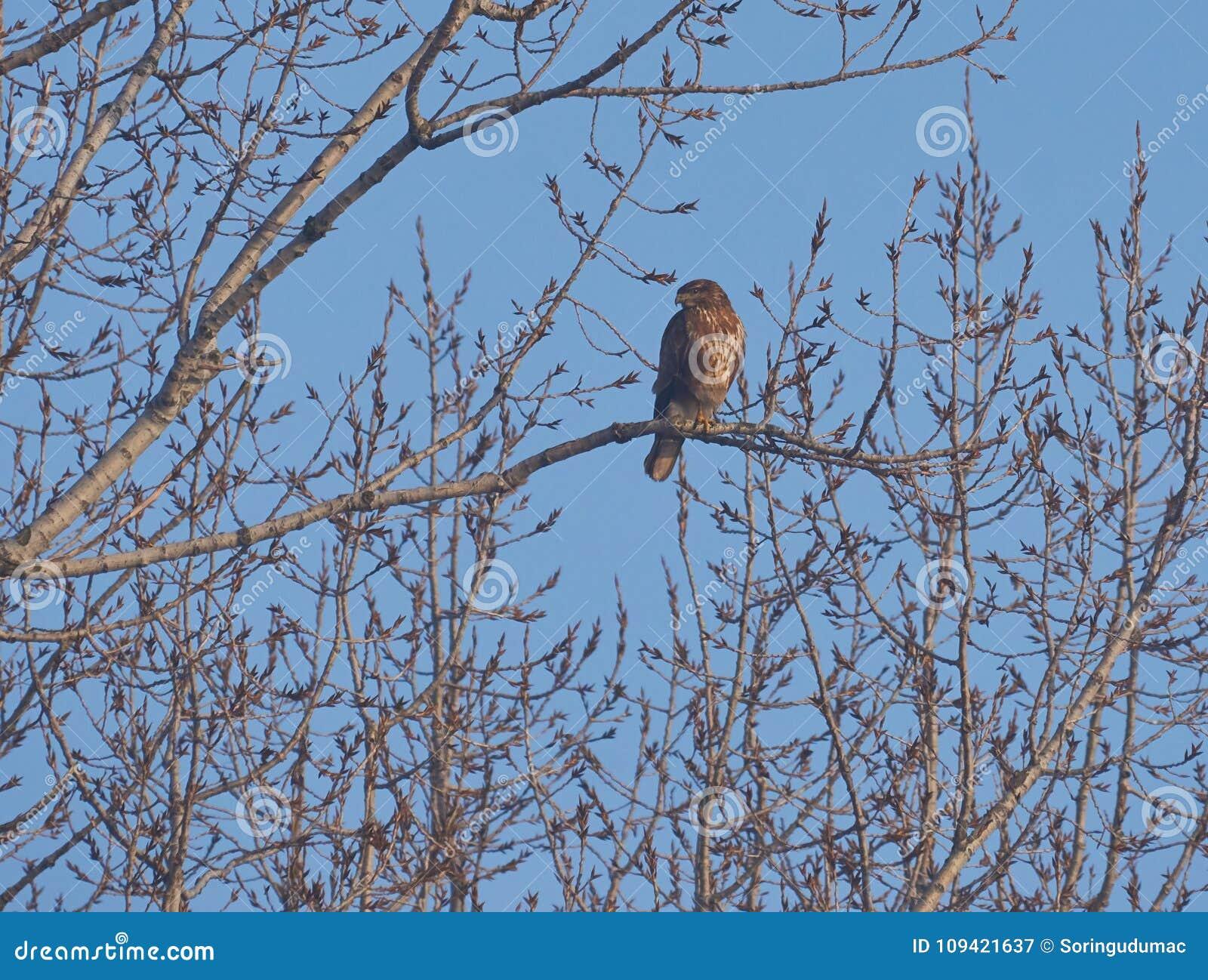 共同的肉食或鵟鸟鵟鸟是一只中型猛禽鸟