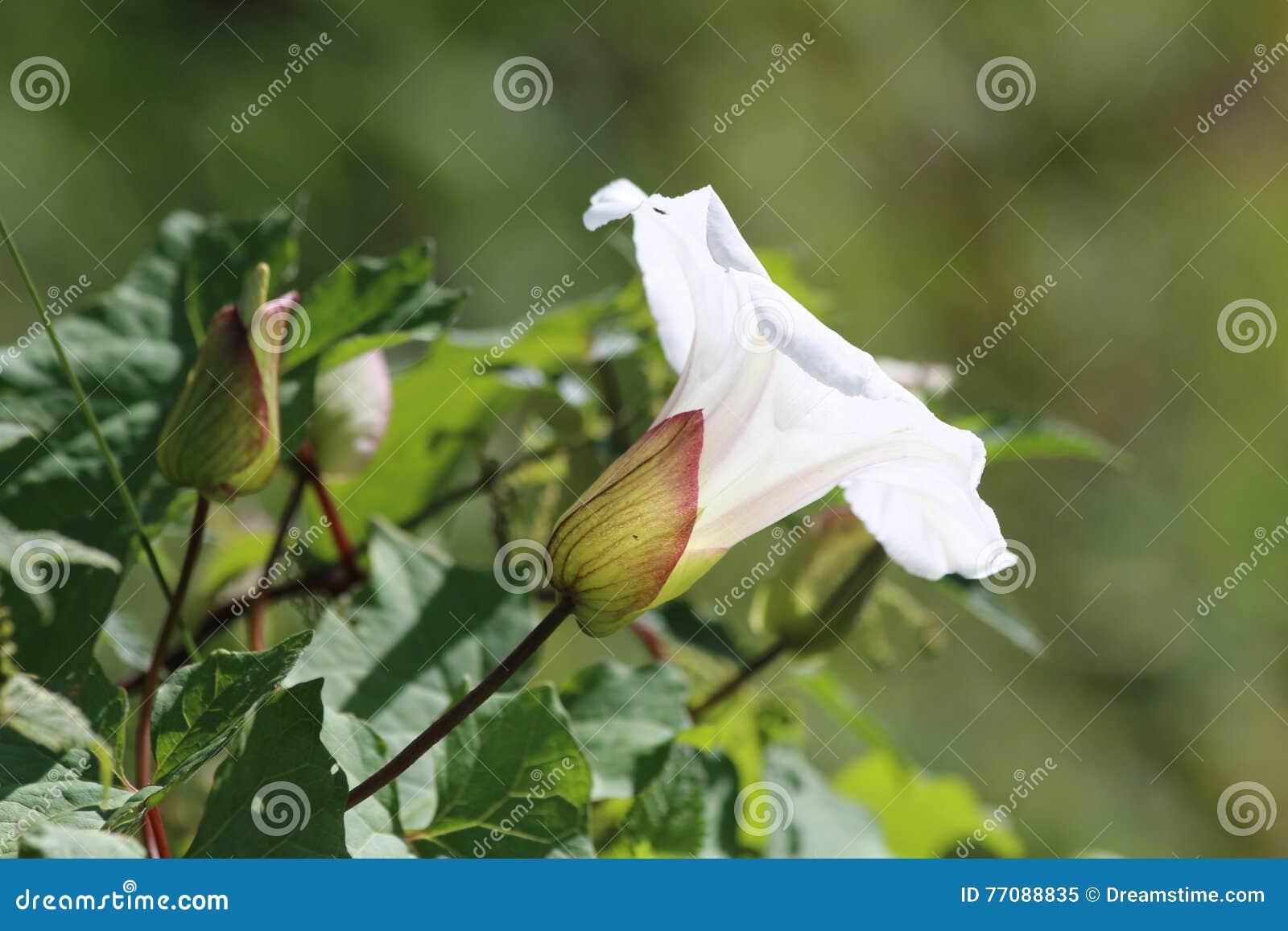 共同的野生植物喇叭形状的花