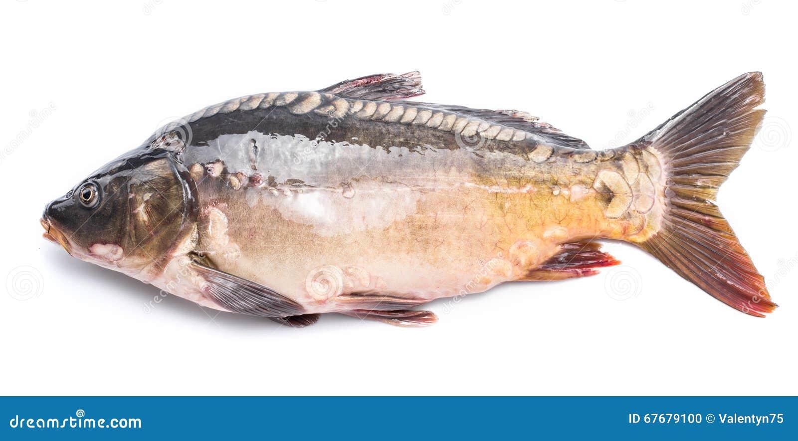 共同的鲤鱼-在白色背景隔绝的食用鱼.