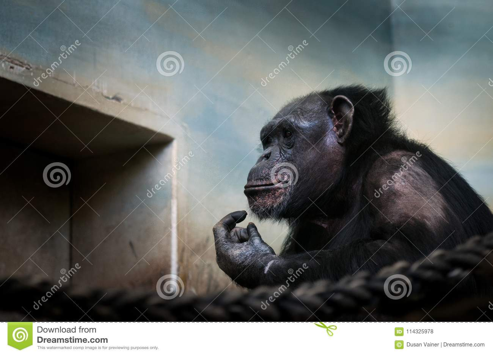 共同的黑猩猩,大偶象哺乳动物的平底锅穴居人画象在动物园保留 哀伤的猿移动的画象