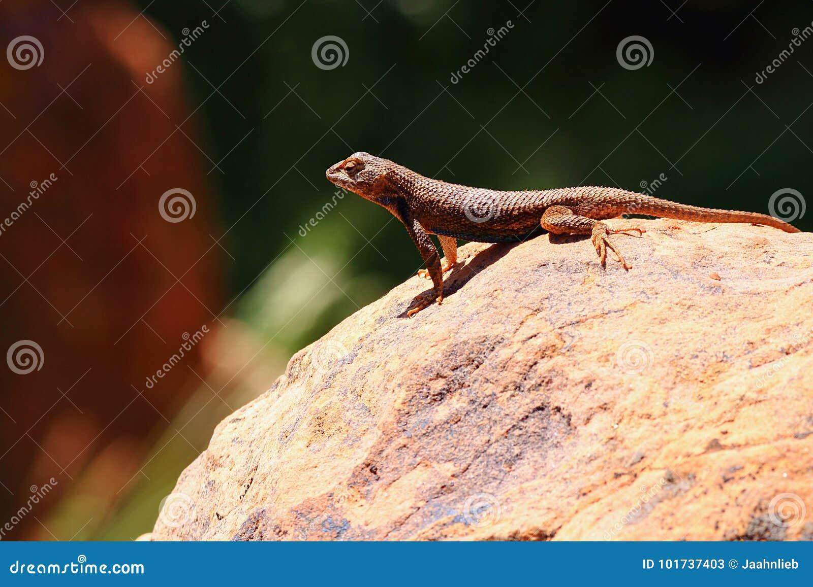 共同的鼠尾草蜥蜴-剌蜥蜴树graciosus -在岩石,锡安国家公园,犹他