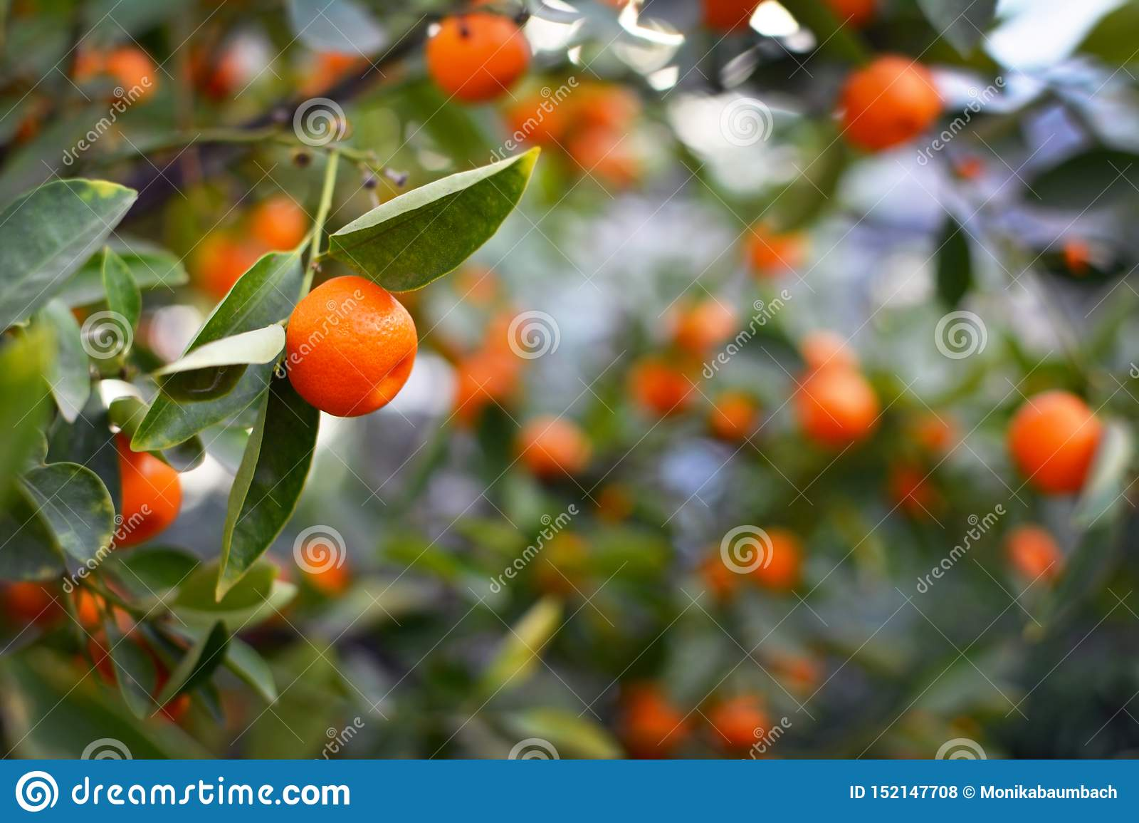 关闭一个Calamondin Citrofortunella Macrocarpa柑橘树桔子用模糊的果子和叶子在背景中