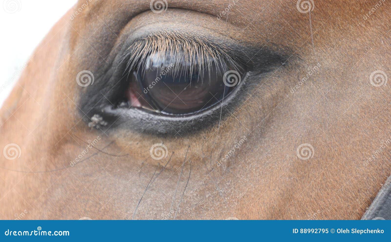 关闭一匹美丽的棕色马的眼睛的看法 马眼睛眨眼睛