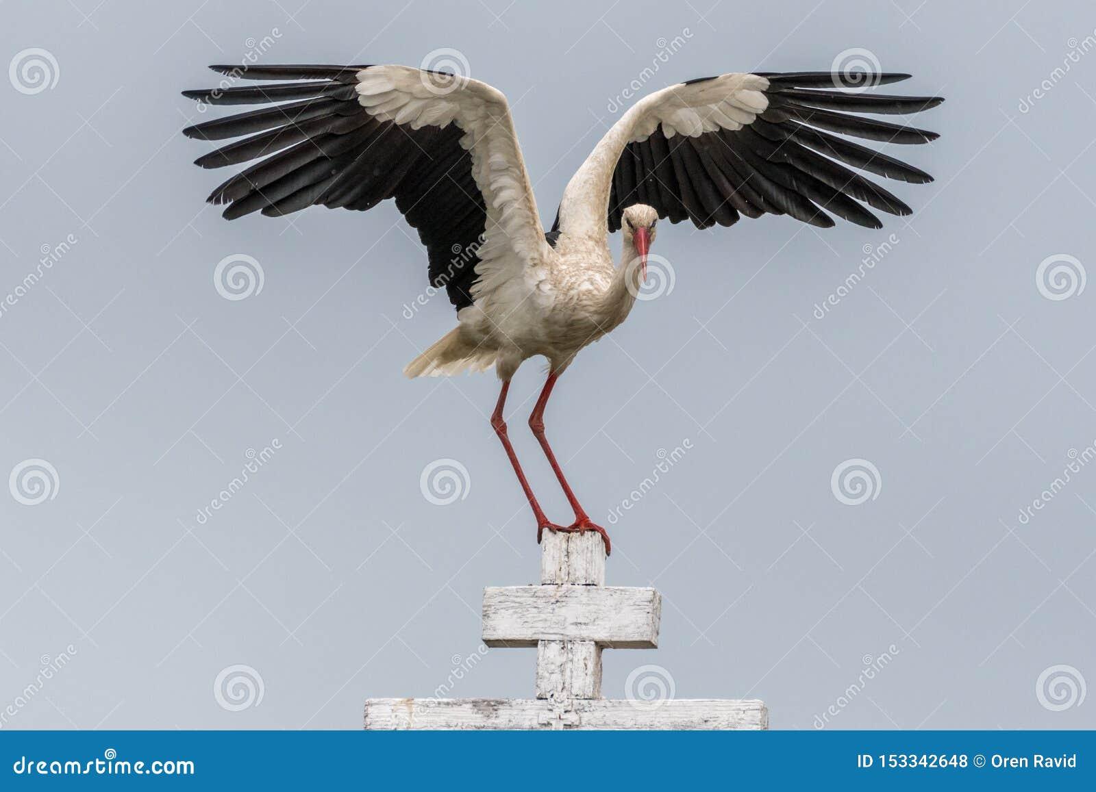关闭一只白色鹳鸟在狂放的罗马尼亚