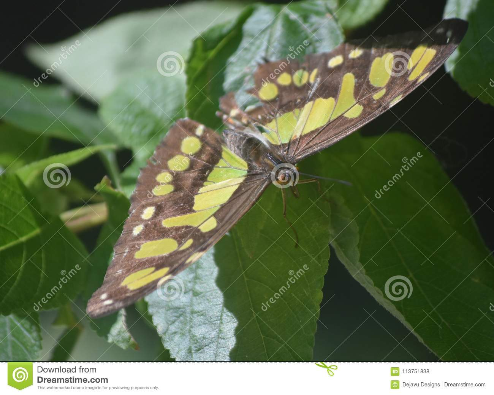 关闭与一只绿色和黑绿沸铜蝴蝶