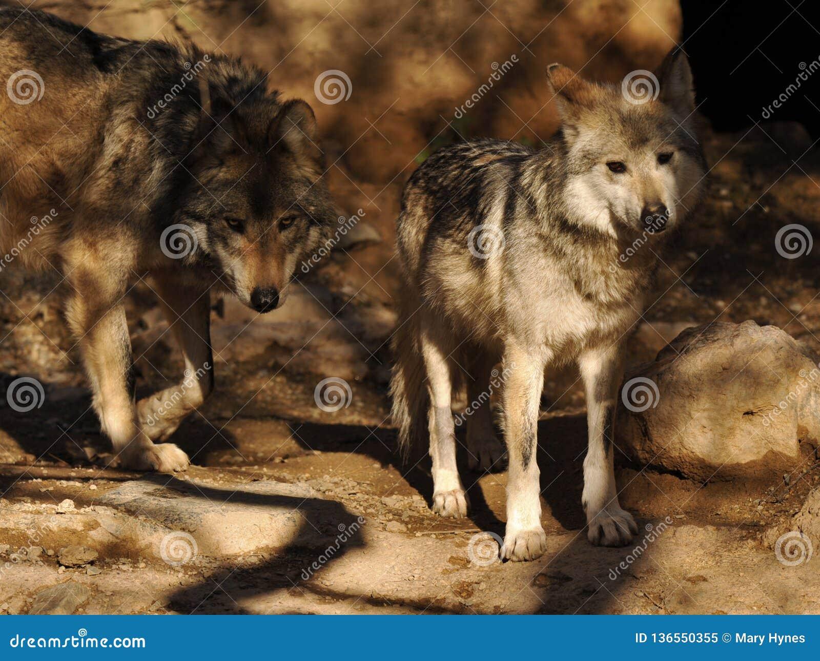 关闭与兴趣的墨西哥灰狼对