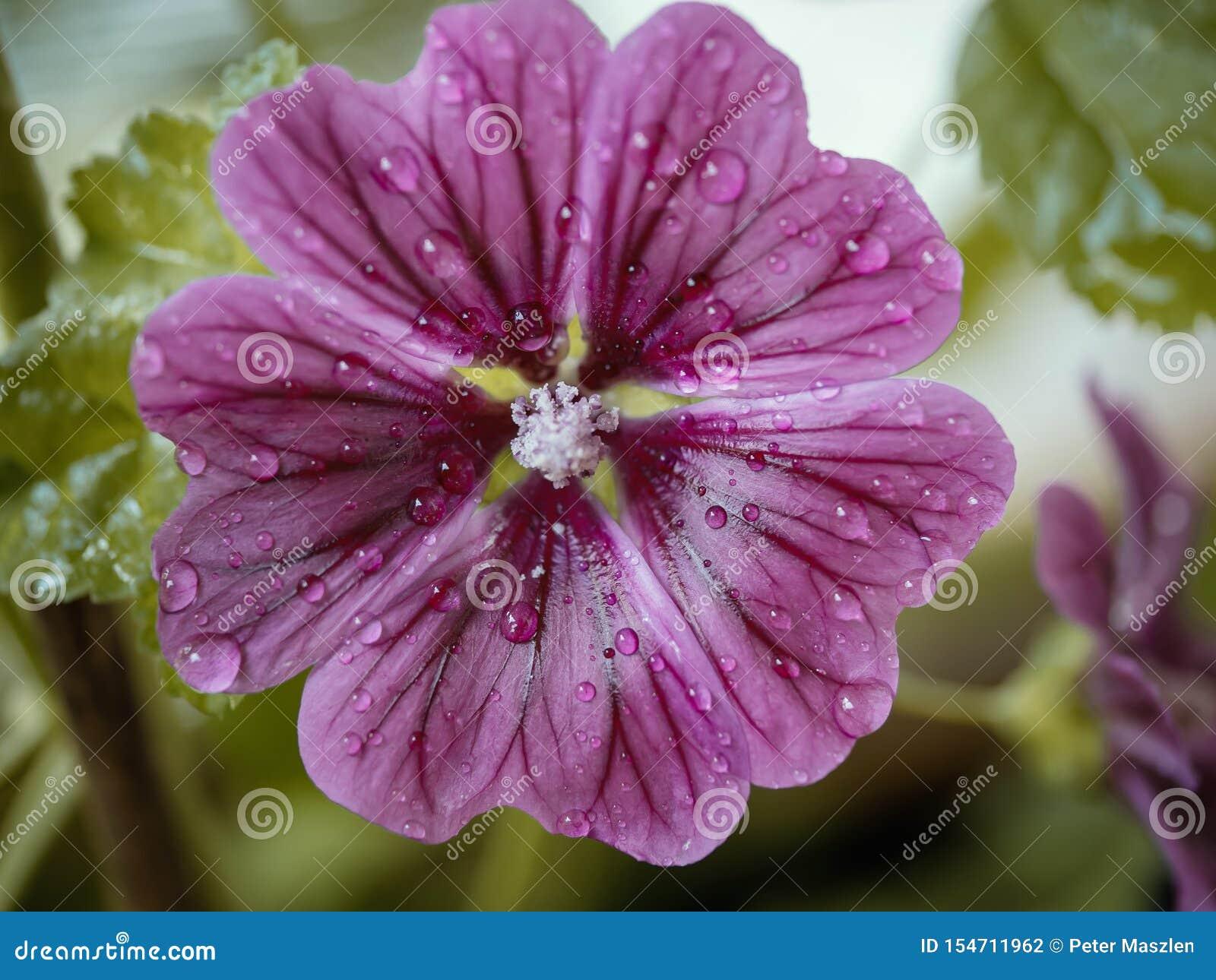 关闭与水下落的桃红色开花的花