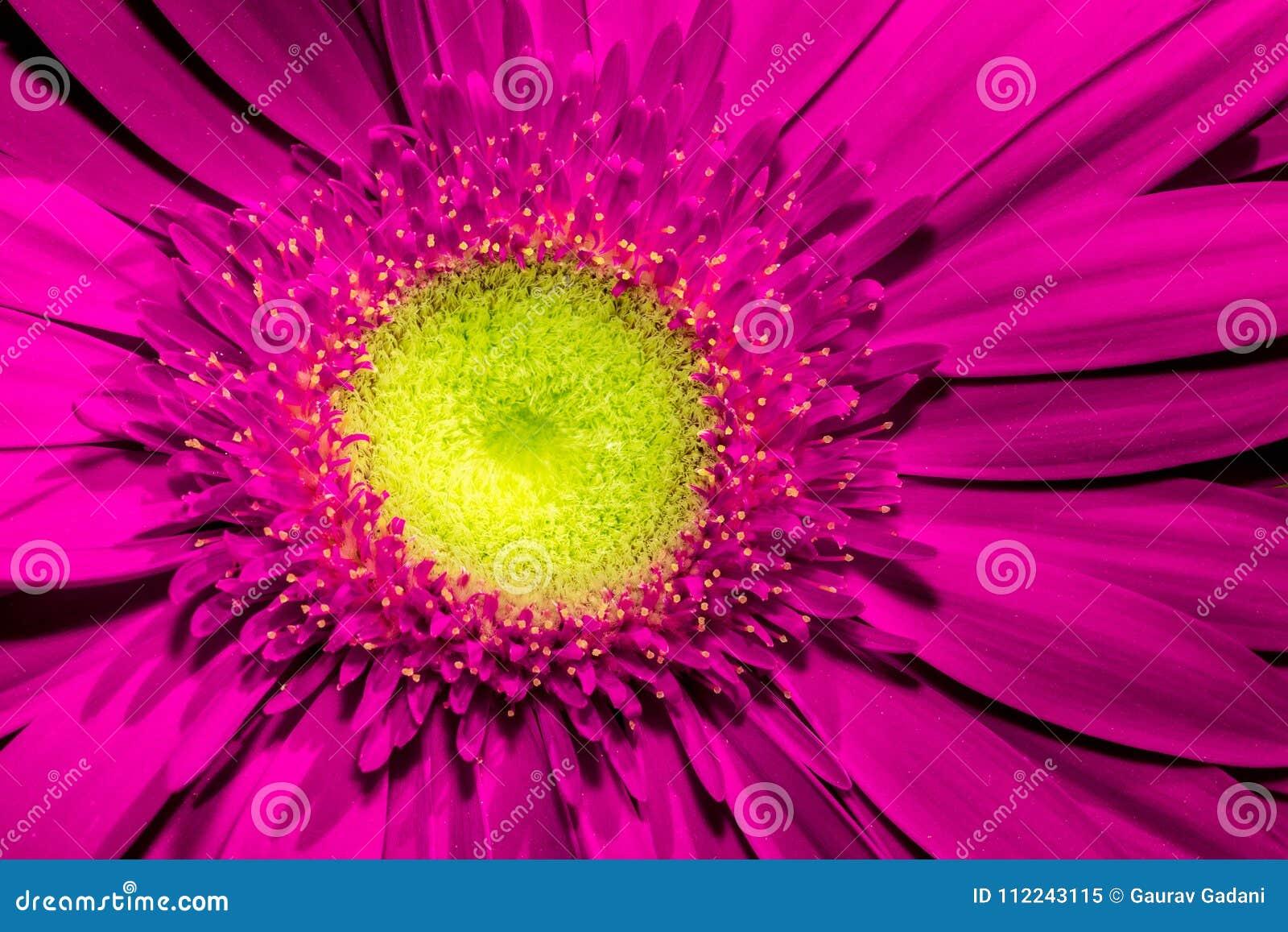 关闭与黄色中心和美丽的软的瓣的紫罗兰色大丁草花