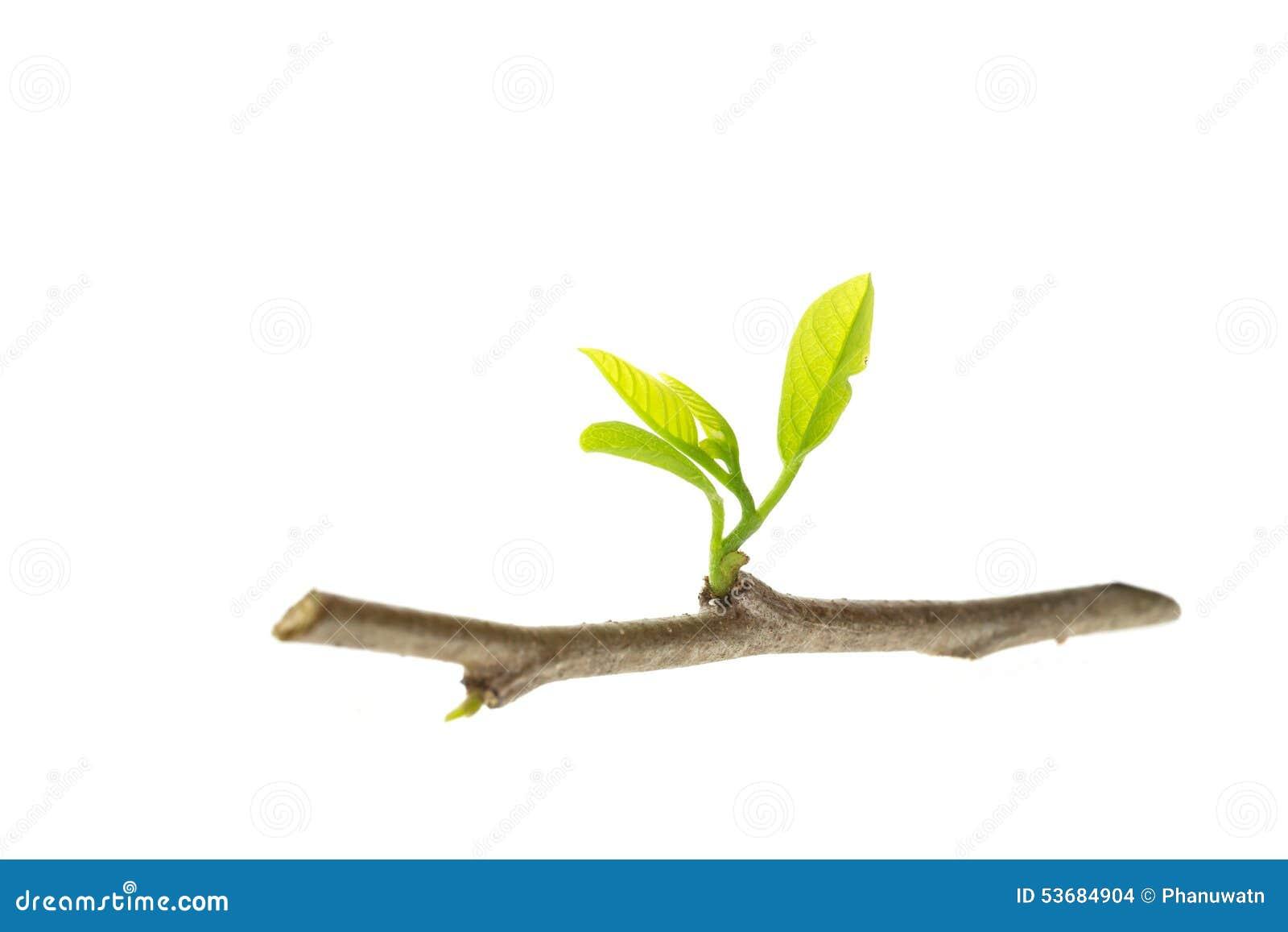 关闭与在白色背景隔绝的绿色叶子的年轻树枝.图片