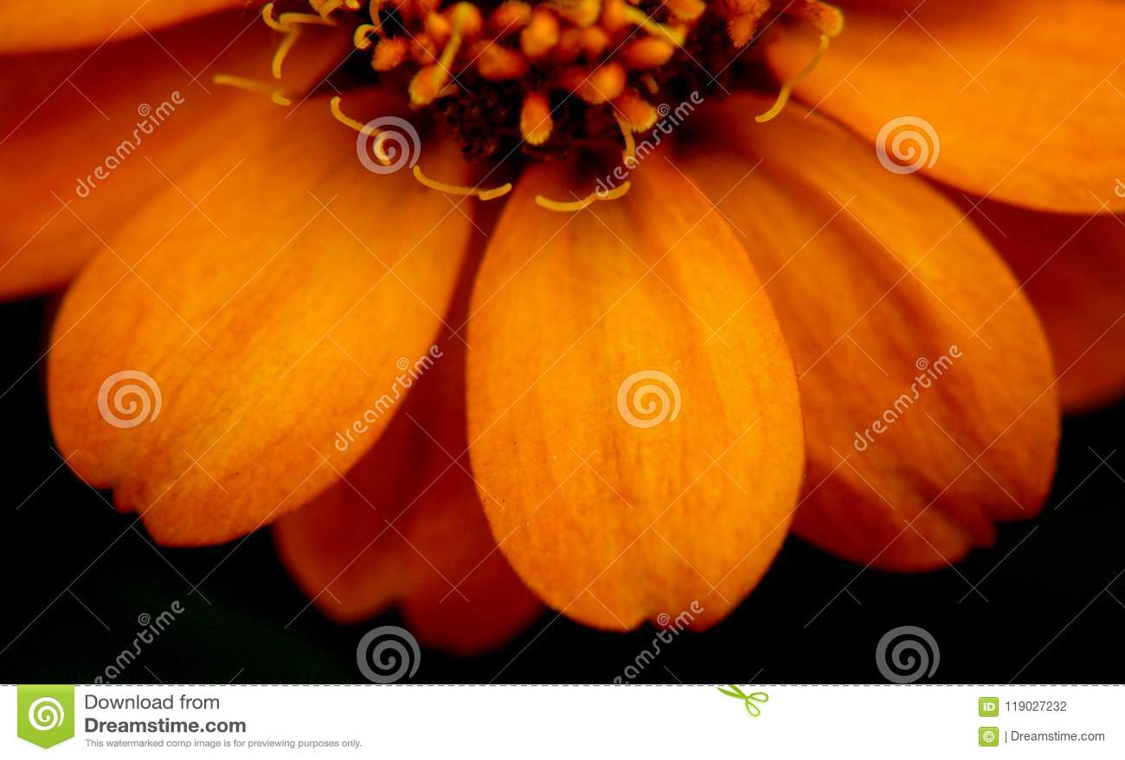 关闭在百日菊属花在密西西比6月