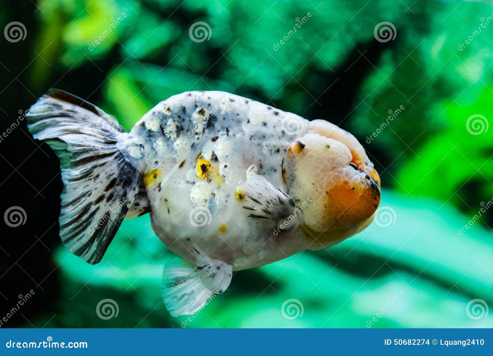 Download 关闭在水族馆的金鱼 库存照片. 图片 包括有 绿色, 背包, 自由, 水族馆, 关闭, 红色, 宠物, 敌意 - 50682274