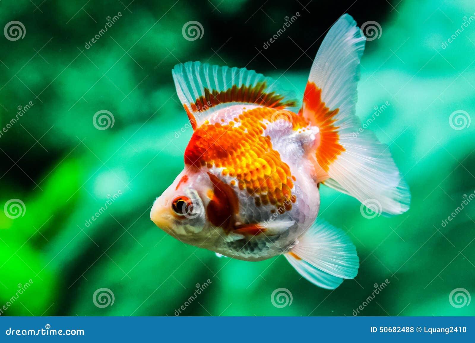 Download 关闭在水族馆的金鱼 库存照片. 图片 包括有 结算, 移动, 金鱼, 行动, bubblegum, 绿色 - 50682488