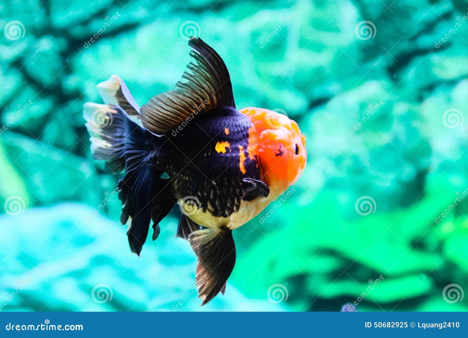 Download 关闭在水族馆的金鱼 库存图片. 图片 包括有 金子, 移动, 宠物, 敌意, 水生, 红色, betsy - 50682925