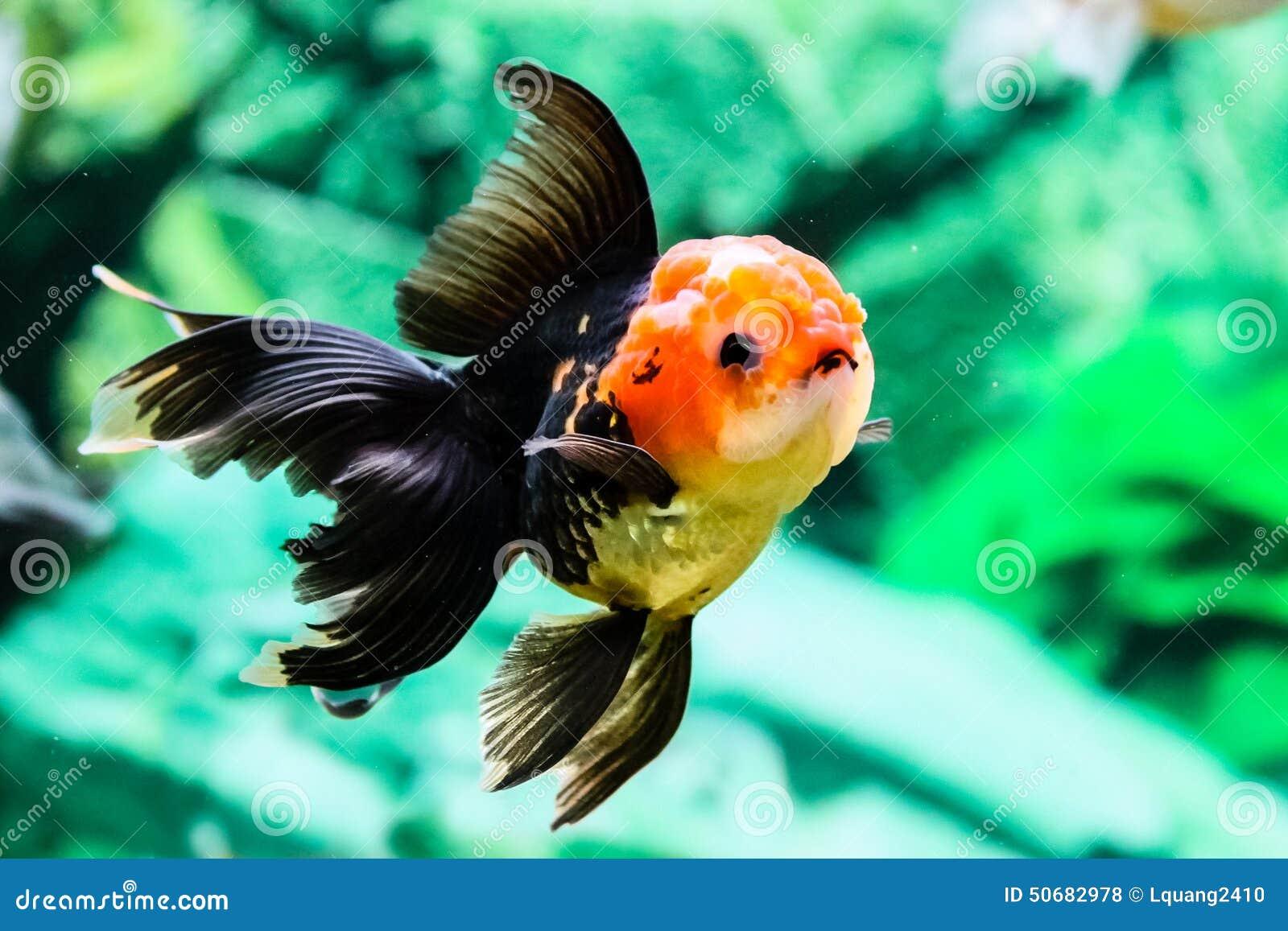 Download 关闭在水族馆的金鱼 库存照片. 图片 包括有 飞翅, 敌意, 移动, 橙色, beauvoir, 结算, 概念性 - 50682978