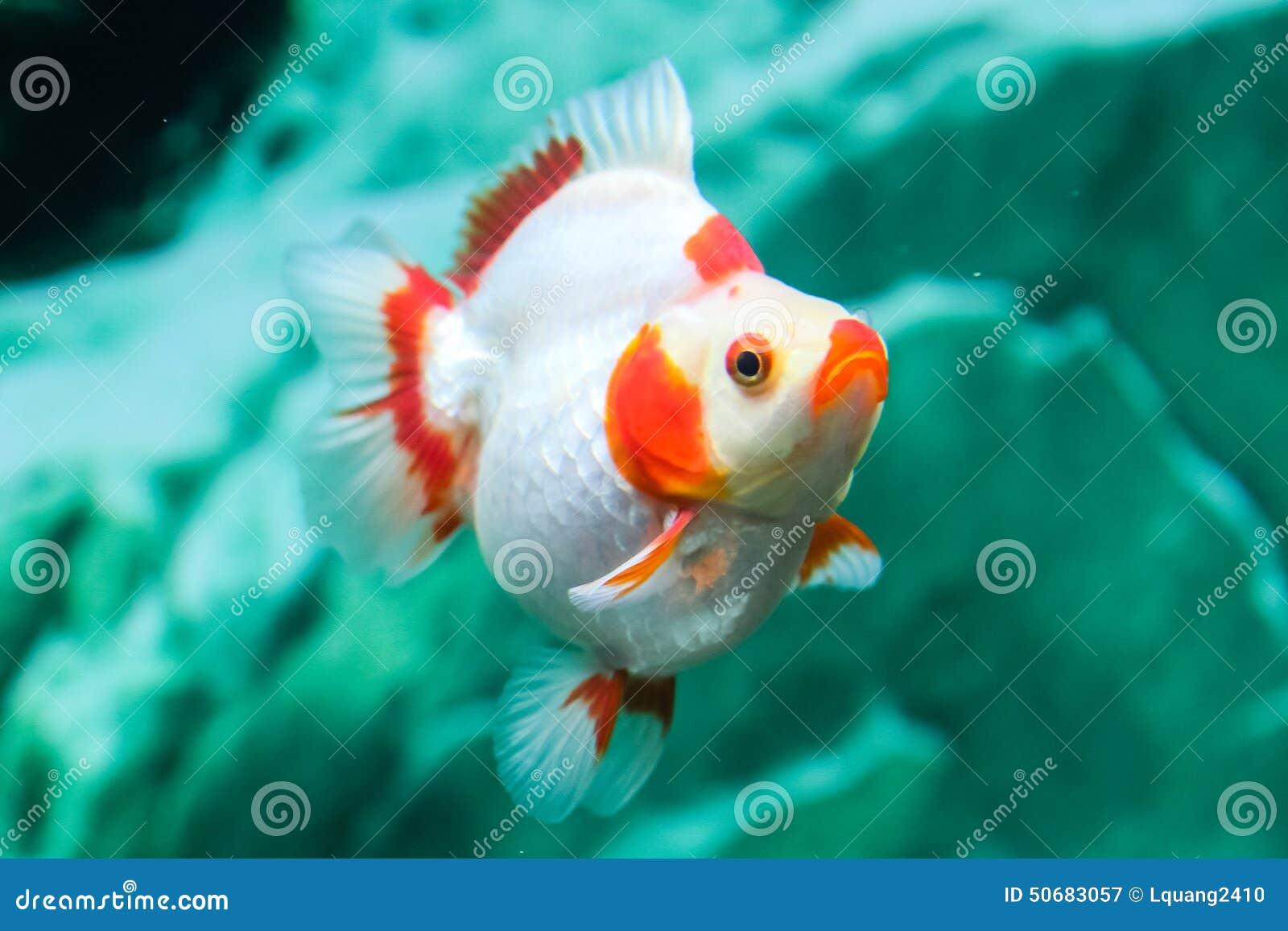 Download 关闭在水族馆的金鱼 库存图片. 图片 包括有 水生, 本质, 背包, beauvoir, 特写镜头, 飞翅 - 50683057
