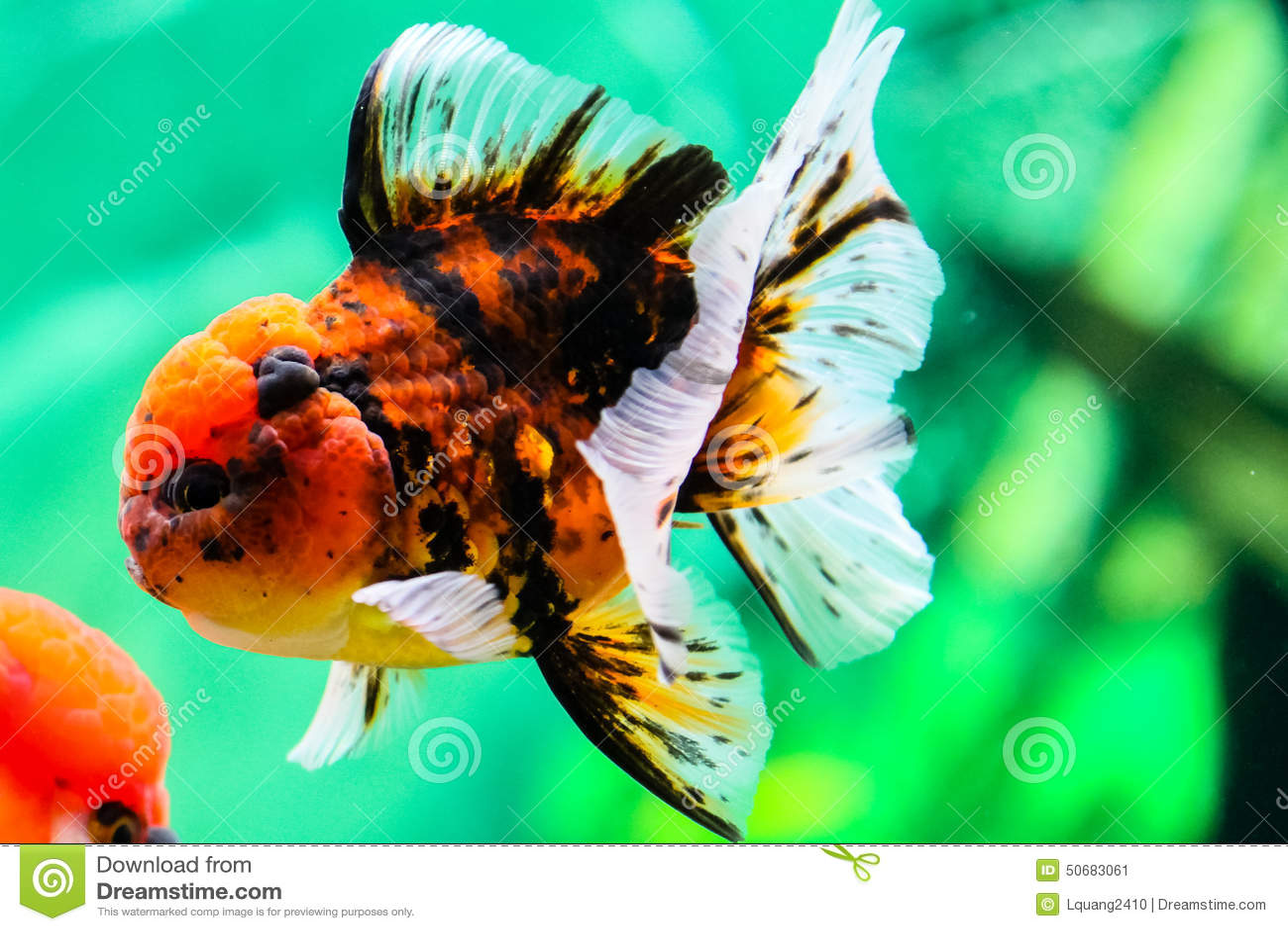 Download 关闭在水族馆的金鱼 库存图片. 图片 包括有 概念性, 宏指令, 宠物, 下落, 飞翅, 特写镜头, 橙色 - 50683061