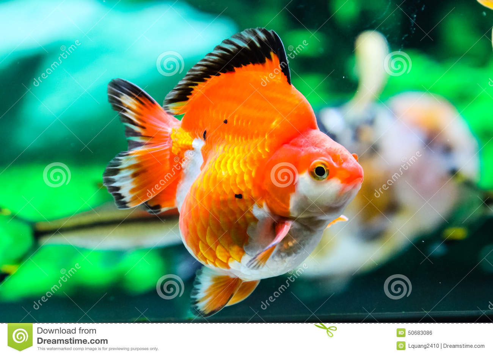 Download 关闭在水族馆的金鱼 库存照片. 图片 包括有 敌意, 金子, 弯脚的, 水族馆, betsy, 自由, 宠物 - 50683086