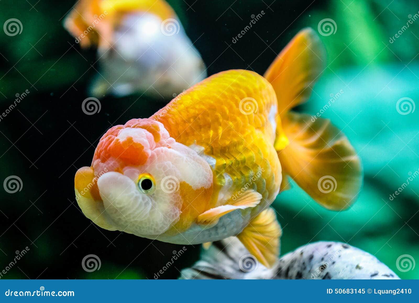 Download 关闭在水族馆的金鱼 库存图片. 图片 包括有 行动, 金鱼, 本质, beauvoir, 孤独, 金子, 水生 - 50683145