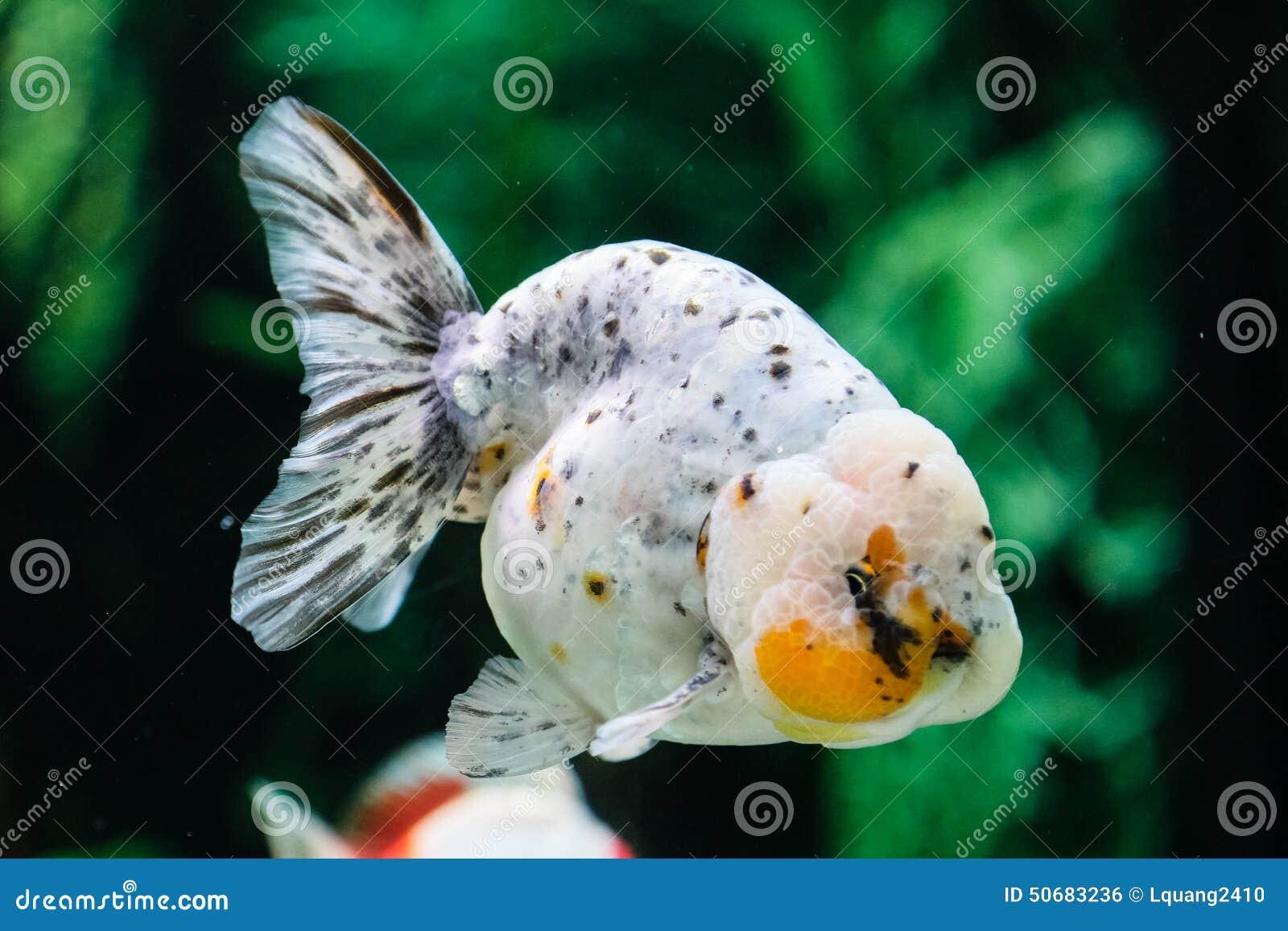 Download 关闭在水族馆的金鱼 库存照片. 图片 包括有 红色, 液体, 颜色, 关闭, 行动, 移动, 水生, 金子 - 50683236