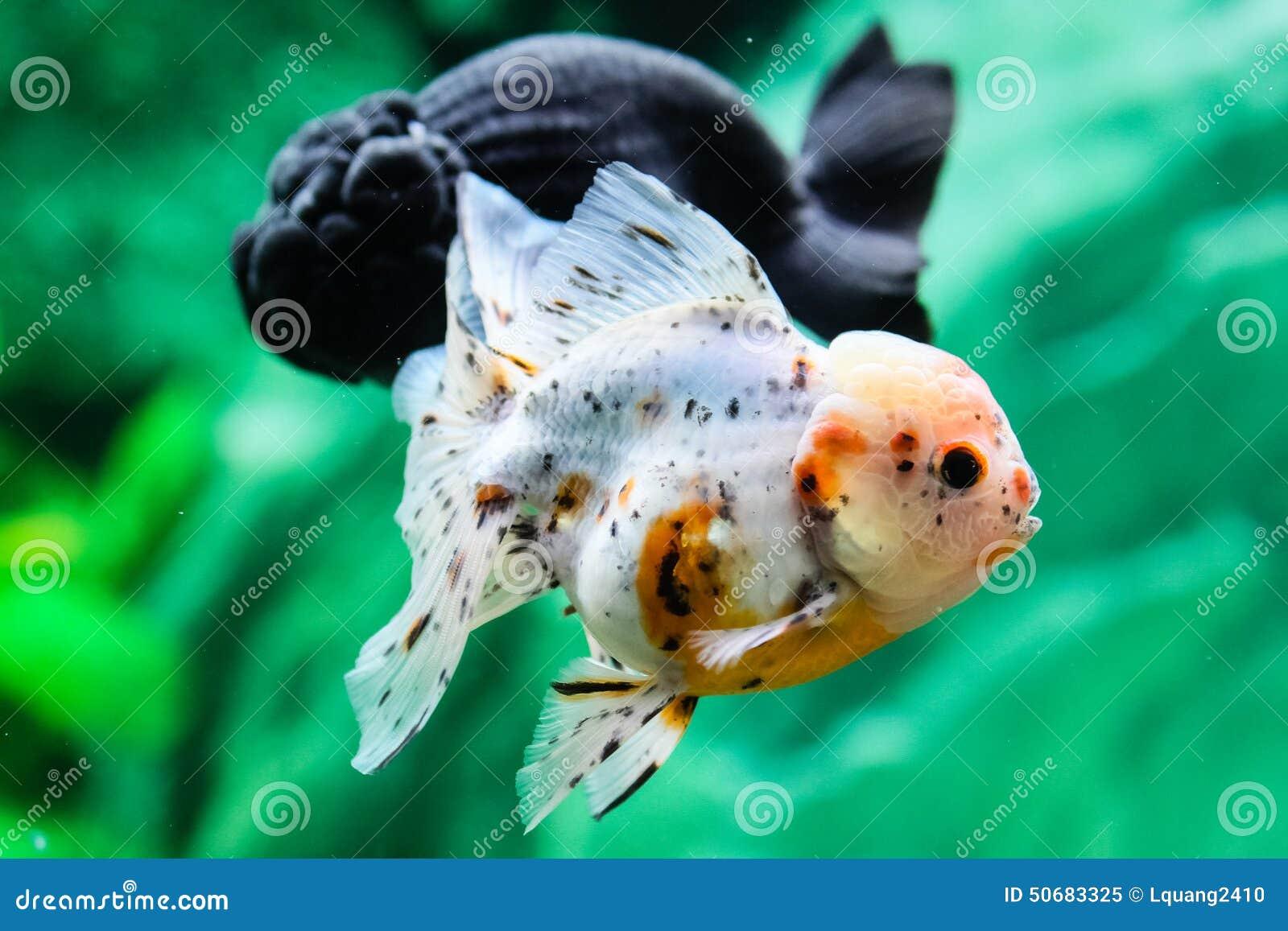 Download 关闭在水族馆的金鱼 库存图片. 图片 包括有 金子, 行动, 下落, beauvoir, 弯脚的, 本质 - 50683325