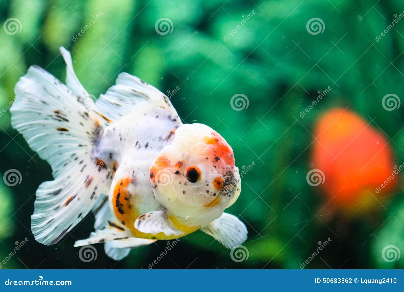 Download 关闭在水族馆的金鱼 库存照片. 图片 包括有 移动, 水生, 水族馆, 敌意, beauvoir, 孤独 - 50683362