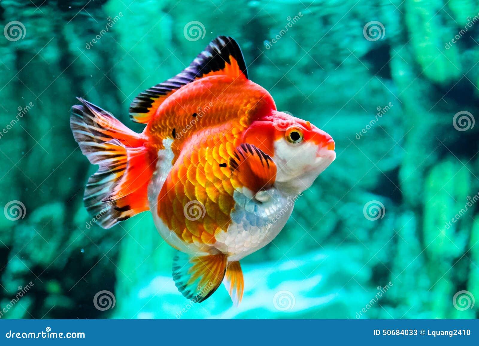 Download 关闭在水族馆的金鱼 库存图片. 图片 包括有 关闭, 弯脚的, 红色, 概念性, 水生, 颜色, 金黄, 本质 - 50684033