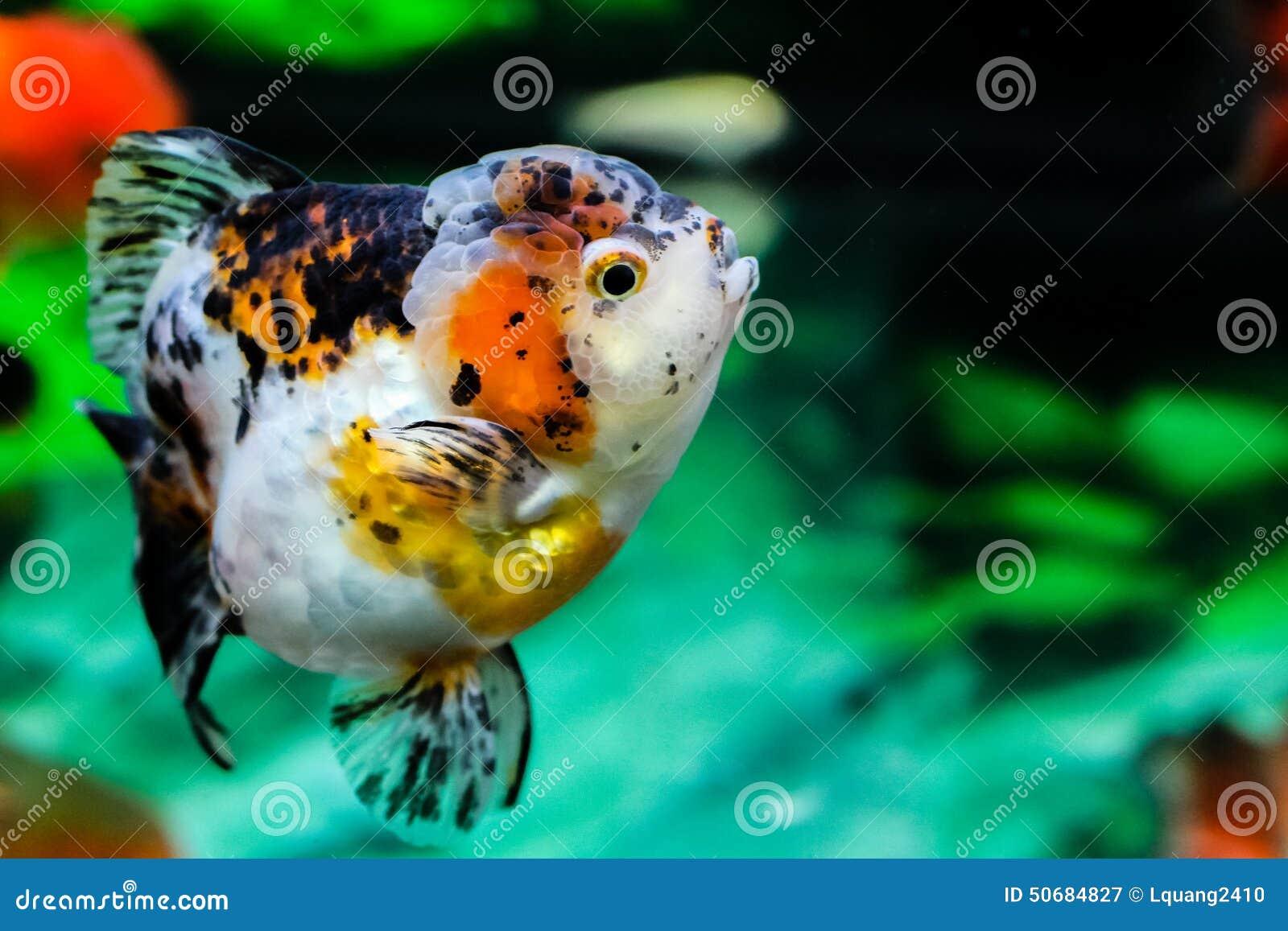 Download 关闭在水族馆的金鱼 库存图片. 图片 包括有 背包, 孤独, 金鱼, bubblegum, 关闭, 水族馆 - 50684827