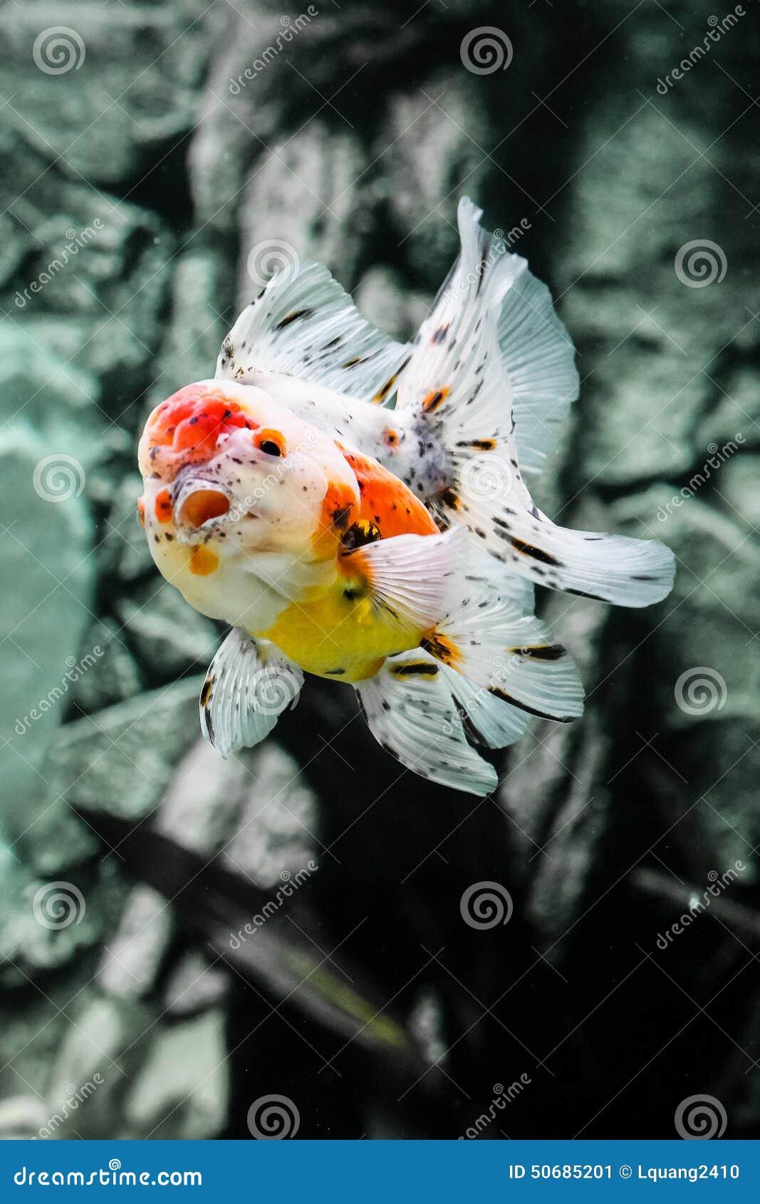 Download 关闭在水族馆的金鱼 库存图片. 图片 包括有 下落, 孤独, 关闭, beauvoir, 橙色, bubblegum - 50685201