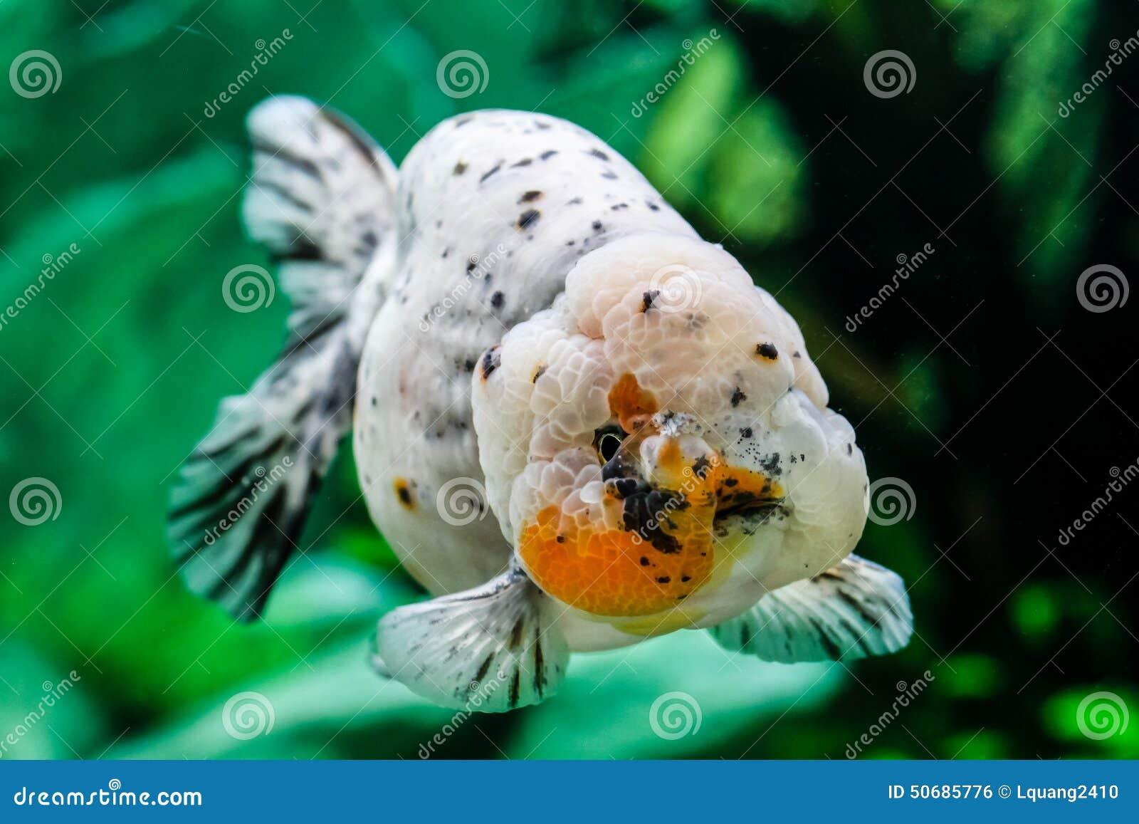 Download 关闭在水族馆的金鱼 库存照片. 图片 包括有 敌意, 结算, bubblegum, 特写镜头, 水生, 金子 - 50685776